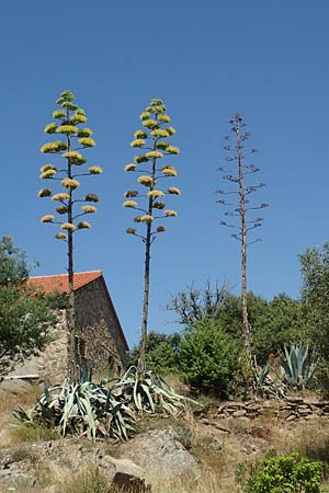 Agave americana \ Amerikanische Agave / American Agave, F Pyrenäen/Pyrenees, Marcevol 11.8.2018