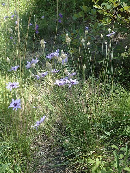 Catananche caerulea \ Blaue Rasselblume / Blue Cupidone, F Gap 9.7.2016
