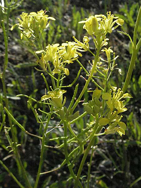 Erucastrum nasturtiifolium \ Stumpfkantige Hundsrauke / Water-Cress Leaved Rocket, F Serres 10.6.2006