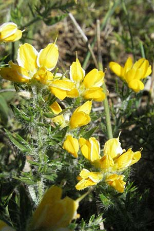Genista germanica \ Deutscher Ginster / German Broom, F Causse du Larzac 7.6.2006