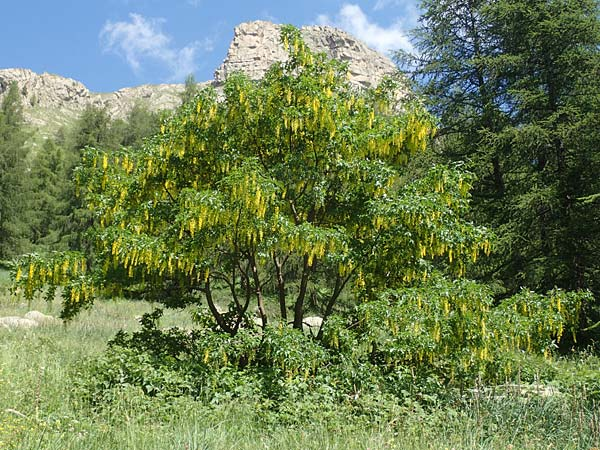 Laburnum alpinum \ Alpen-Goldregen / Alpine Golden Chain, Scottish Golden Chain, F Col de la Cayolle 9.7.2016