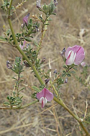 Ononis spinosa subsp. antiquorum, Thorny Restharrow, Prickly Restharrow