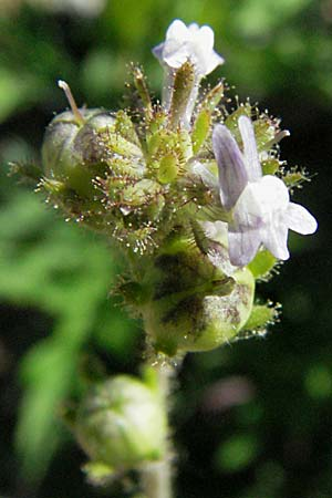 Linaria arvensis, Corn Toadflax