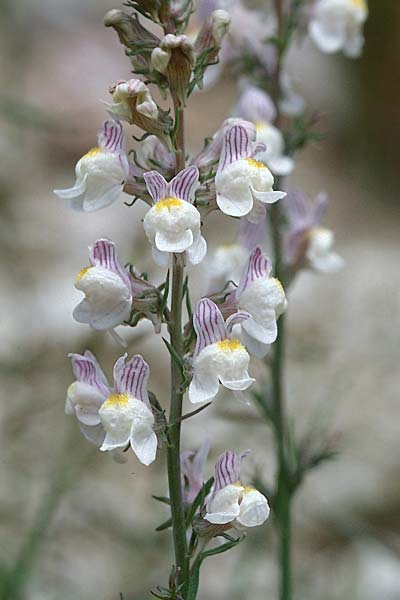 Linaria repens \ Gestreiftes Leinkraut / Pale Toadflax, F Pyrenäen/Pyrenees, Pic d'Ossau 3.7.1998
