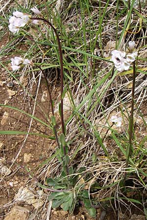 Arabis hirsuta / Hairy Rock-Cress, GR Timfi 17.5.2008