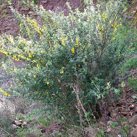 Calicotome villosa \ Behaarter Dorn-Ginster / Hairy Thorny Broom, GR Peloponnes, Apollon Tempel von Bassae / Peloponnese, Apollon Temple of Bassae 29.3.2013