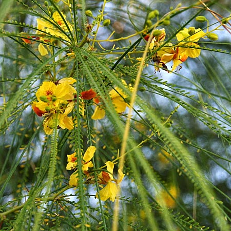 Parkinsonia aculeata \ Jerusalemdorn / Mexican Palo Verde, Jerusalem Thorn, GR Korinth/Corinth 7.10.2009 (Photo: Gisela Nikolopoulou)