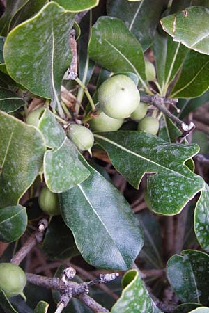Pittosporum tobira / Japanese Cheesewood, GR Athen 26.8.2014