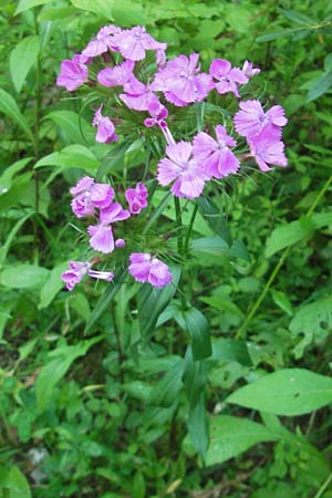 Dianthus barbatus \ Bart-Nelke / Sweet William, Kroatien/Croatia Medvednica 1.7.2010