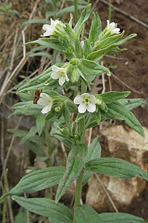 Lithospermum officinale, Echter Steinsame