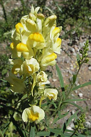 Linaria vulgaris, Common Toadflax