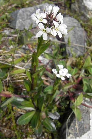 Arabis hirsuta / Hairy Rock-Cress, IRL Connemara, Ballyconneely 17.6.2012