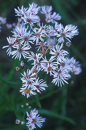 Aster tripolium, Meer-Aster, Strand-Aster