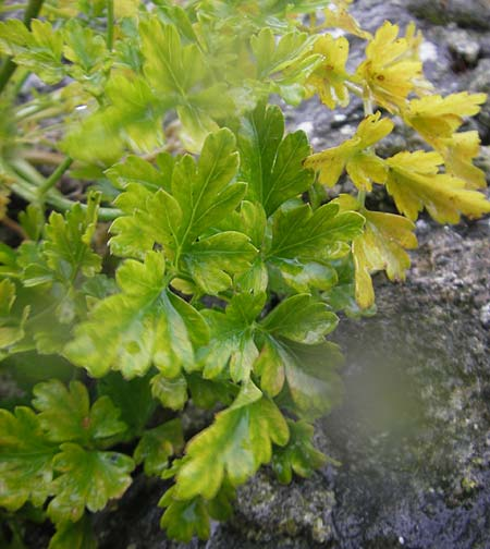 Aethusa cynapium \ Hunds-Petersilie, Garten-Schierling / Fool's Parsley, IRL Burren, Ballyvaughn 14.6.2012