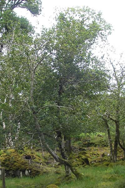 Ilex aquifolium \ Stechpalme / Holly, IRL County Kerry, Killarney 16.6.2012