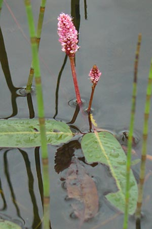 Persicaria amphibia \ Wasser-Knöterich / Water Knotweed, Willow Grass, IRL County Sligo, Mullaghmore 18.6.2012
