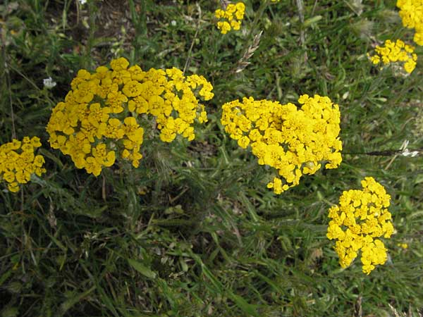 Achillea tomentosa \ Goldgelbe Teppich-Schafgarbe / Wooly Yarrow, I Monti Sibillini 8.6.2007