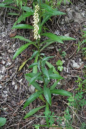 Digitalis lutea \ Gelber Fingerhut / Straw Foxgloves, I Gole del Salinello bei/near Ripe 6.6.2007