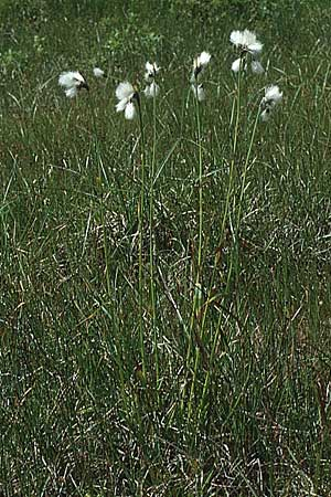Eriophorum angustifolium \ Schmalblättriges Wollgras / Common Cotton Grass, I Grödner Joch 29.7.1990