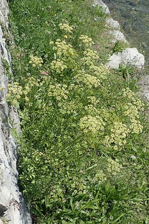 Petroselinum crispum \ Petersilie / Parsley, I Iseosee, Sulzano 8.6.2017