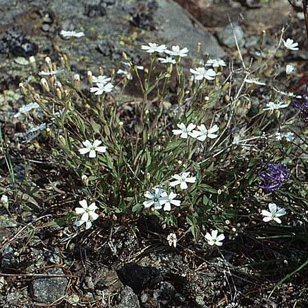 Silene rupestris \ Felsen-Leimkraut / Rock Campion, I Mastaun - Tal / Valley 1.7.1993