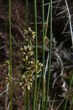 Scirpoides holoschoenus \ Kugelbinse / Round-Headed Club-Rush, Lesbos Petra 19.4.2014