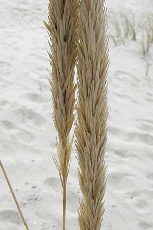 Ammophila arenaria \ Strandhafer / European Marram Grass, European Beach Grass, NL Renesse 9.8.2015