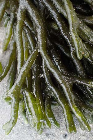 Codium fragile \ Grüner Leuchter, Finger-Alge / Dead Man's Fingers, Green Sea Fingers, NL Veere 14.8.2015