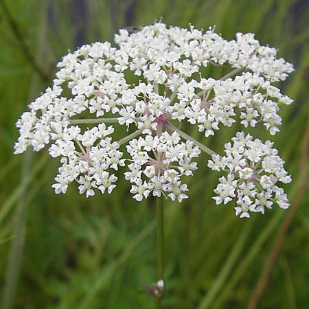 Peucedanum palustre \ Sumpf-Haarstrang / Marsh Hog's Parsley, Milk Parsley, S Norra Kvill 11.8.2009