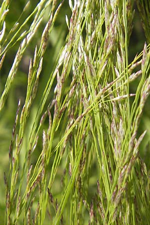 Eragrostis tef \ Teff, Zwerghirse / Teff, Williams Love Grass, S Botan. Gar.  Universit.  Uppsala 28.8.2010