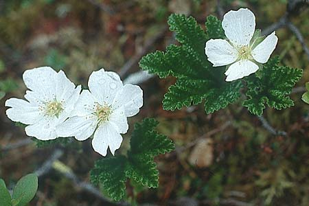 Rubus chamaemorus \ Molte-Beere / Cloudberry, S Muddus National-Park 17.6.1995