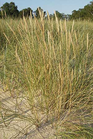 Ammophila arenaria \ Strandhafer / European Marram Grass, European Beach Grass, S Ystad 5.8.2009