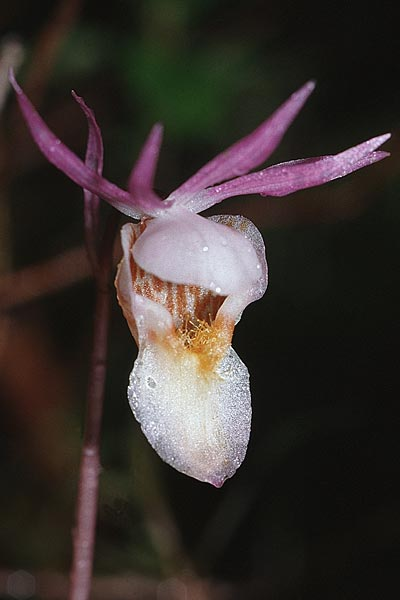 Calypso bulbosa, S Muddus Nationalpark 17.6.95